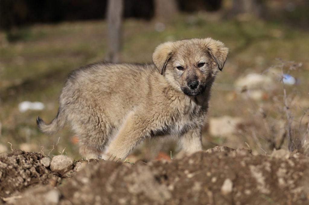 Šar mountain puppy